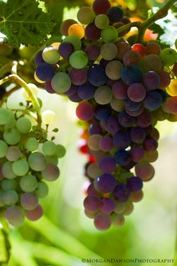 GrapeCluster©MorganDawsonPhotography