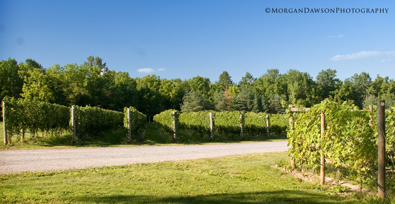 SeptemberVineyard©MorganDawsonPhotography