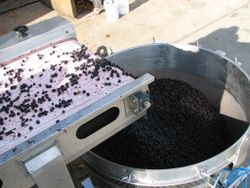 Shinn 2009 harvest 007