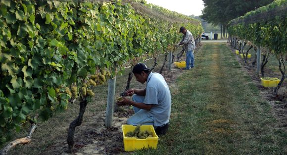 Riesling Harvest 2010 023