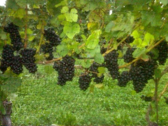 Irene-grapes