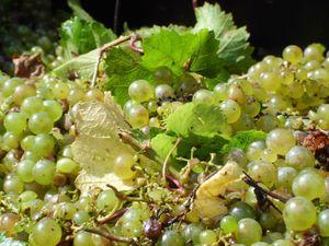 GrapePicture