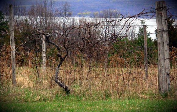 1866_Vines_Bellangelo