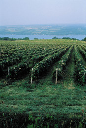 Fl_vineyard_2