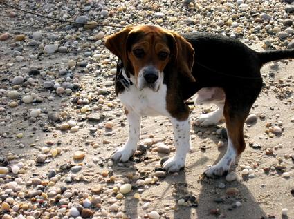 Beagle_beach