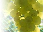 Chardonnay_week