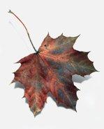 Leaf_one