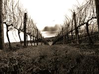 Winter_vineyard
