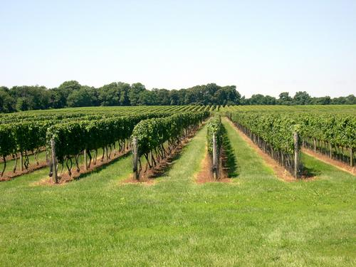 The Vines at Bedell Cellars