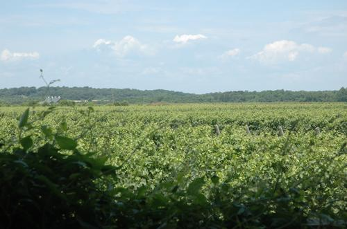 The Macari Vineyard